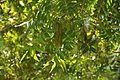 Carya illinoinensis Pecan პეკანი (1).JPG