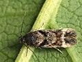 Caryocolum junctella (40184974764).jpg