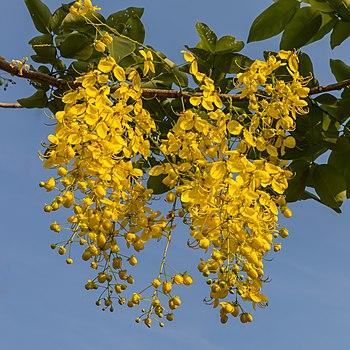 Cassia fistula (Golden rain tree) flowers