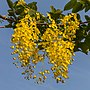 Cassia fistula (Golden rain tree) flowers.jpg