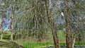 Casuarina glauca branchlets (16001874931).jpg
