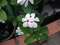 Catharanthus roseus (2).JPG