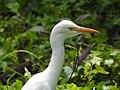 Cattle egret (Bubulcus ibis) 5.jpg