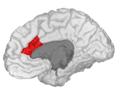 Caudal Anterior Cingulate - DK ATLAS.png