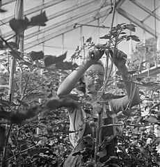 Cecil Beaton Photographs- Women's Horticultural College, Waterperry House, Oxfordshire, 1943 DB249.jpg