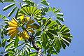 Cecropia obtusifolia.JPG