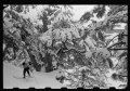 Cedars of Lebanon in snow with skiers LOC matpc.22651.tif