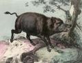 Cenni sulla Sardegna (1841) Cinghiale.png