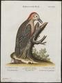 Centurus radiolatus - 1700-1880 - Print - Iconographia Zoologica - Special Collections University of Amsterdam - UBA01 IZ18700367.tif