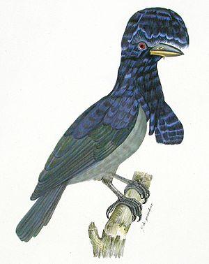 1809 in birding and ornithology - The Amazonian umbrellabird Cephalopterus ornatus Plate from Louis Jean Pierre Vieillot La Galerie des oiseaux