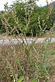 Chénopode blanc (Chenopodium album).jpg