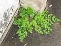 Chaerophyllum temulum plant (06).jpg