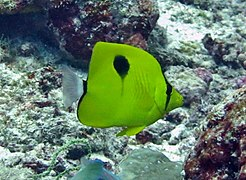 Yellow teardrop butterflyfish (Chaetodon interuptus)