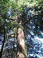Chamaecyparis formosensis tree.jpg