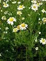 Chamaemelum nobile 2c.JPG