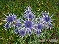 Chardon bleu des Pyrénées.jpg