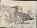 Chaulelasmus strepera - 1864-1915 - Print - Iconographia Zoologica - Special Collections University of Amsterdam - UBA01 IZA1000156.tif