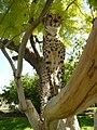 Cheetah (6521891707).jpg