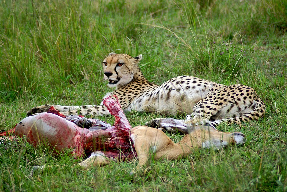 Cheetah with impala kill