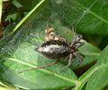 Cheiracanthium sp. . Miturgidae. - Flickr - gailhampshire.jpg