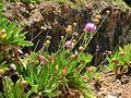 Cheirolophus burchardii Tenerife 2.jpg