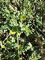 Chenopodium vulvaria sl113.jpg