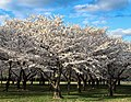 Cherry blossoms on the Washington Monument grounds (a6f971bd-851f-41f0-a984-215cd785f753).jpg