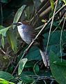 Chestnut-capped Babbler (29591925260).jpg