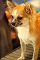 Chihuahua long-haired portrait.jpg