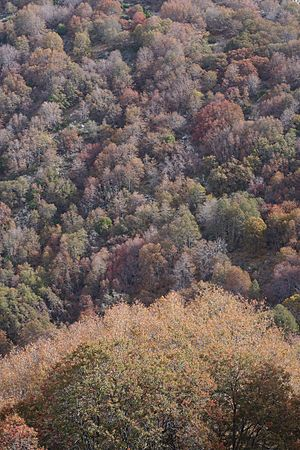 Lophozonia macrocarpa - Lophozonia macrocarpa forest