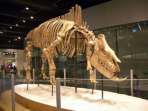 Skelettrekonstruktion von Chilotherium im Hong Kong Science Museum