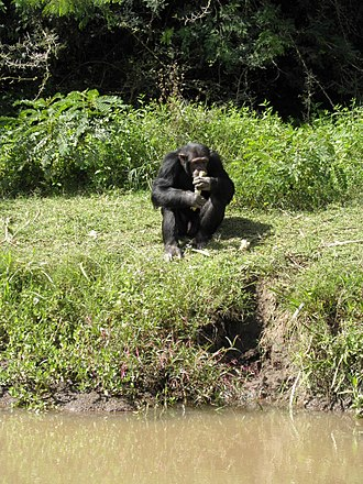 Ol Pejeta Conservancy - A chimpanzee in the Sanctuary