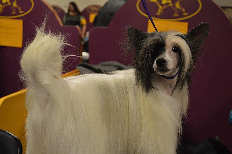 perro crestado chino con pelo