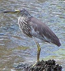Chinese Pond Heron at Winter.jpg