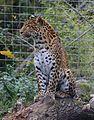 Chinesischer Leopard Panthera pardus japonensis Tierpark Hellabrunn-8.jpg