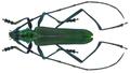 Chloridolum spec. (Laos 7) (8353169008).png