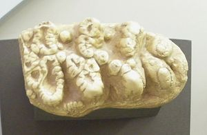 Astaracian - Image: Choerolophodon molar