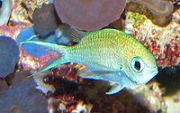Chromis viridis 1