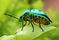 Chrysocoris sp. from India, perched on some leaves.