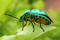 Chrysocoris, Hebbal, Bangalore, India - 20060806.jpg