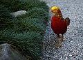 Chrysolophus pictus -Italy -walking-8.jpg