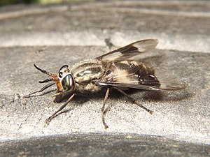 Adult deer fly, Chrysops callidus