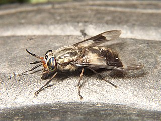 Deer fly genus of insects
