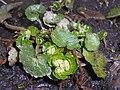 Chrysosplenium alternifolium 2017-03-19 6006.jpg