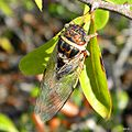 Cicada (on hog-plum) (5993624354).jpg