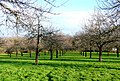 Cider orchard on Burrow Hill - geograph.org.uk - 1136559.jpg