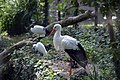 Cigogne blanche (Zoo Amiens).JPG