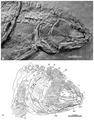 Cipactlichthys scutatus holotype anterior.tif