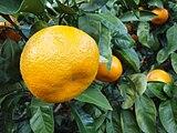Citrus unshiu 20101127 a.jpg