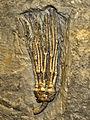 Cladida - Abrotocrinus.JPG